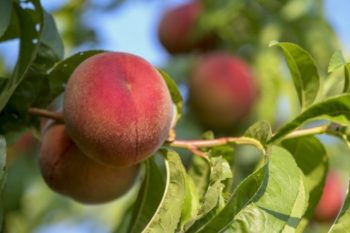 Is Your eLearning Like Cooking Peaches?